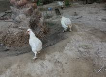 دجاج كوجي شرط صحة املقحات العدد 4 دجاج و4 ديوجة وحدة عرب شرط بياض