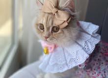 قطة شيرازية للتزوج