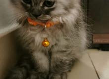 Shirazi male kitten