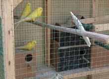للبيع طيور حب هولندي ...اقرا تفصيل جوا