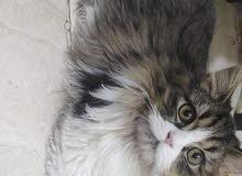 قطط منزلية للبيع