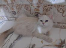 قطه هملايا منتجه