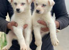 husky for sale