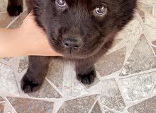 chaw chaw puppy