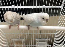 Budgies Pair With Cage