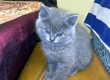 shorthair Scottish Fold cats