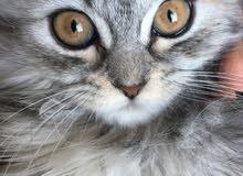 قطة للبيع عالسوم