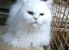 بيع قطة شيرازية ببضاء عمر سنة تقريبا