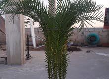شجرة اوريكاريا و شجرة سيكاس للبيع