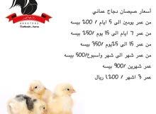 صيصان دجاج عماني