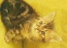 قطط  شرازى