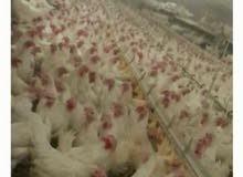 دجاج ابيض بياض فقية بصحة جيدة