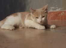 قط فارسي للبيع  لعوب وحلو.. السكنه/البيفي