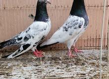 زوج تيدي وعنده فرخين الصور  اضحات والطيور بصحه ممتازه الحمدلله 25ريال 91773307