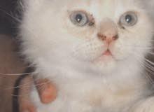 قطط حديث الولاده شرازي (انثى)