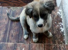 كلب للبيع لولو مكس
