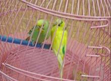 جوز طيور بادجي استرالي