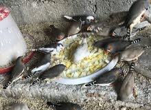طيور جنة ملونه للبيع