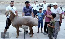 TACIK HİSSAR SHEEP (Гиссарские овцы Таджикистана).