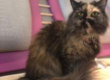 قطة تورتيلا للبيع ب 500
