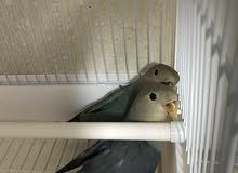 طيور روز للبيع