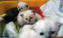 قطط سيام