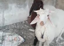 خروف وعبوره للبيع
