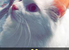 قطة شيرازية انثى للبيع