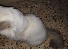 قط ذكر فارسي اصلي درجه اولى