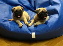 important  pug puppies top quality