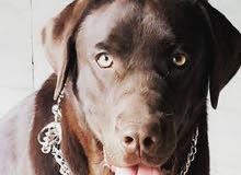 كلب لابرادور للبيع