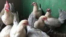 3 مجموعات ( ديك + 3 دجاج ) فيومي چولد بياض / المجموعة ب 11 دك
