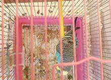 طيور زينة للبيع