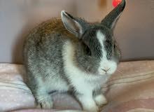 netherlands dwarf bunny rabbit