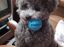 Toy Poodle Exotic Gray Color Female For sale