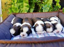 Adorable Shihtzu Puppies