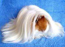 مطلوب غينيا بيج بشعر طويل Wanted guinea pig long hair
