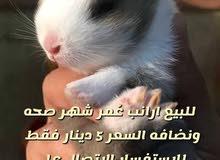 ارانب صغار