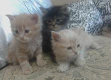 3 قطط للبيع من ام و اب شيرازي عمرهم شهر ونصف سعر الواحدة ب 50 دينار اردني