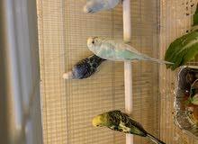 طيور البادجي والكروان