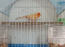 مجموعة طيور متنوعة للبيع او مراوس