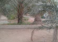 زراعة جميع انواع النخيل العربي والواشنطني وعمل الشبوك