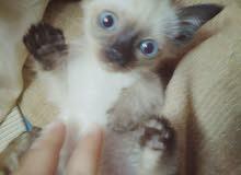 قطة سيامي ألماني عمر 45 يوم
