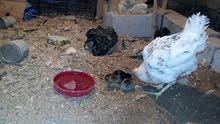 دجاجة عرب مع افراخ دجاج عرب عدد 3