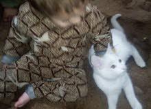 قطة للبيع شرازي بسعر مغري 60