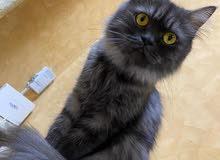 قطه منزليه شيرازيه