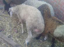 2 خروف لحم للبيع تربيه من المنزل