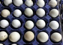 بيض بلدي مائدة