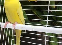 للبيع زوج بادجي هولندي جاهز للأنتاج لون جميل جداً اصفر وعيون حمرات