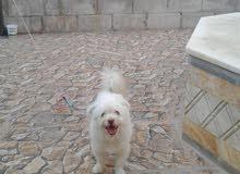 كلب فرنسي فرينش